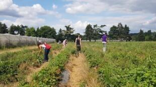 60 га фермы Галли в пригороде Парижа открыты для сбора урожая