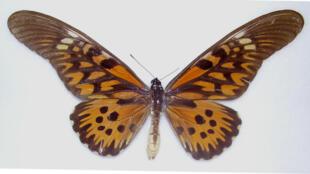 Un spécimen mâle de Papilio antimachus.