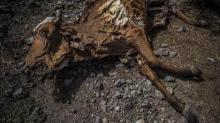Au Nicaragua, 2 500 têtes de bétail sont mortes depuis le début de la sécheresse, selon les autorités.