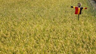 Một cánh đồng lúa ở Soma, cách nhà máy điện nguyên tử Fukushima khoảng 40 km.