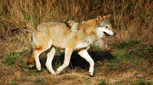 Еврпейский волк