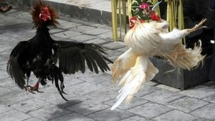 Police seized 97 live roosters and six dead ones