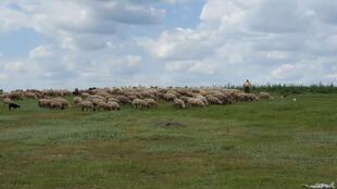 Un berger roumain veille sur son troupeau de brebis. Sud de la Roumanie.