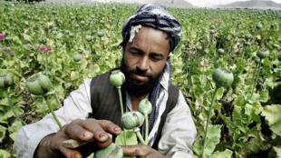 کشت مواد مخدر در افغانستان