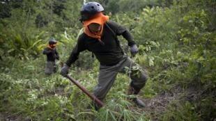 Destruction d'une plantation de coca, le 28 octobre 2015, à Nueva Esperanza, un village isolé de la municipalité de Ciudad Constitucion en Amazonie péruvienne.