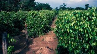 Culture du poivre noir