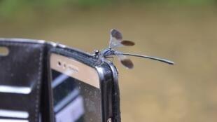 Les libellules sont un bon indicateur de l'état de la biodiversité. En France métropolitaine, une vingtaine d'espèces sont menacées sur près de 90 espèces.
