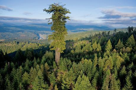 Hypérion - Sequoia sempervirens, Parc national de Redwood.