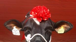Malgré les artifices, l'amour entre vaches et taureaux demeure très virtuel.
