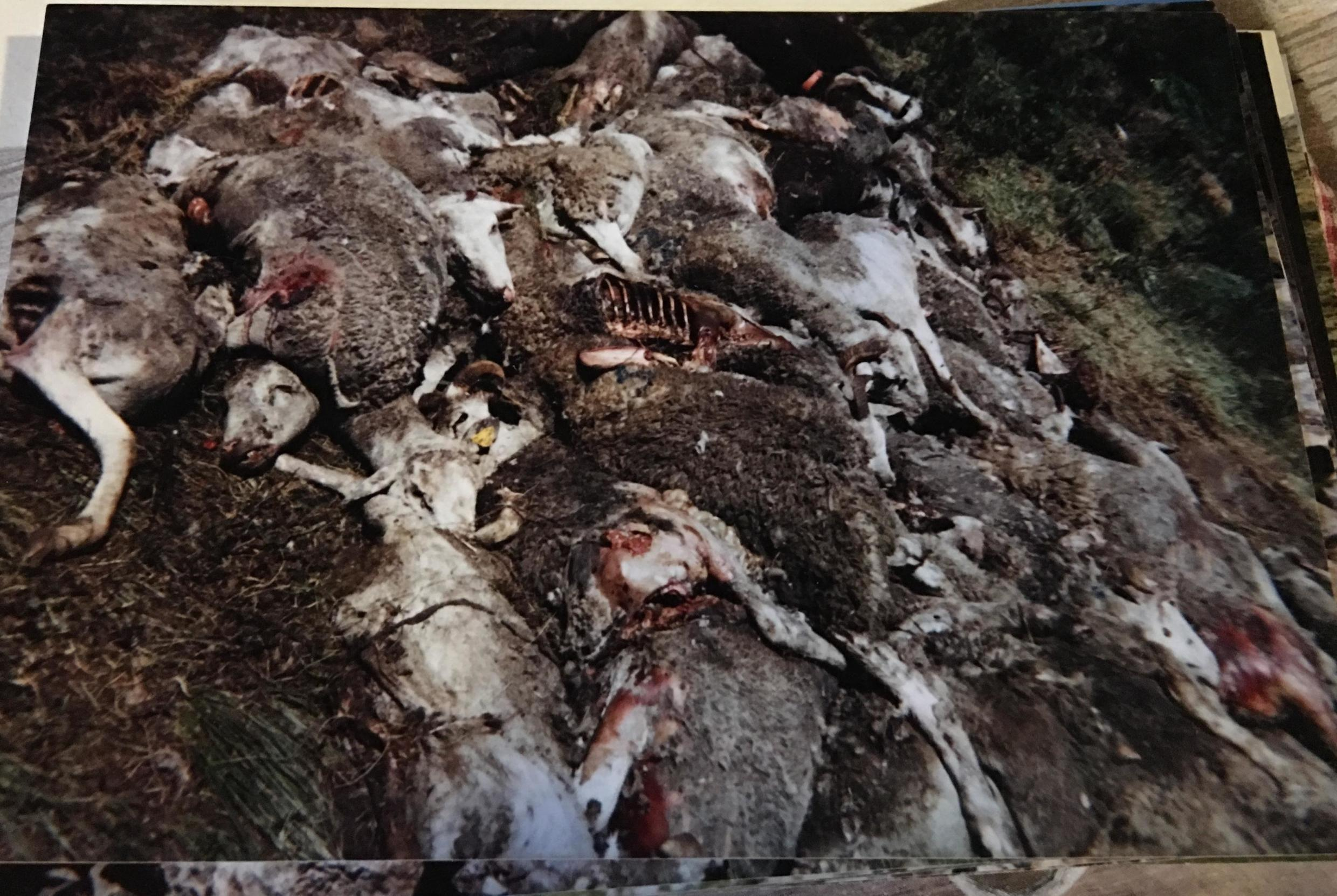 Mirouze's photographs date from the first time sheep his fell en masse from a cliff in 2005. Many sheep that survive such falls have broken jaws, ribs and hooves, as well as ruptured organs, and have to be euthanized.