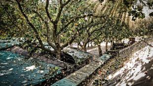 Cueillette de pistaches dans un verger de Californie, à Yolo.