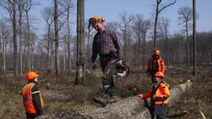 3月9日盧瓦爾河谷地區的貝爾斯森林,工人們圍在一棵橡木周圍