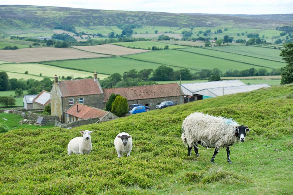 Le vol de bétail est en augmentation au Royaume-Uni : 11% de plus en deux ans selon l'assurance NFU Mutual. L'équivalent de 2,7 millions d'euros de perte pour les éleveurs. Les landes du Yorkshire, dans le nord de l'Angleterre, ne sont pas épargnées.