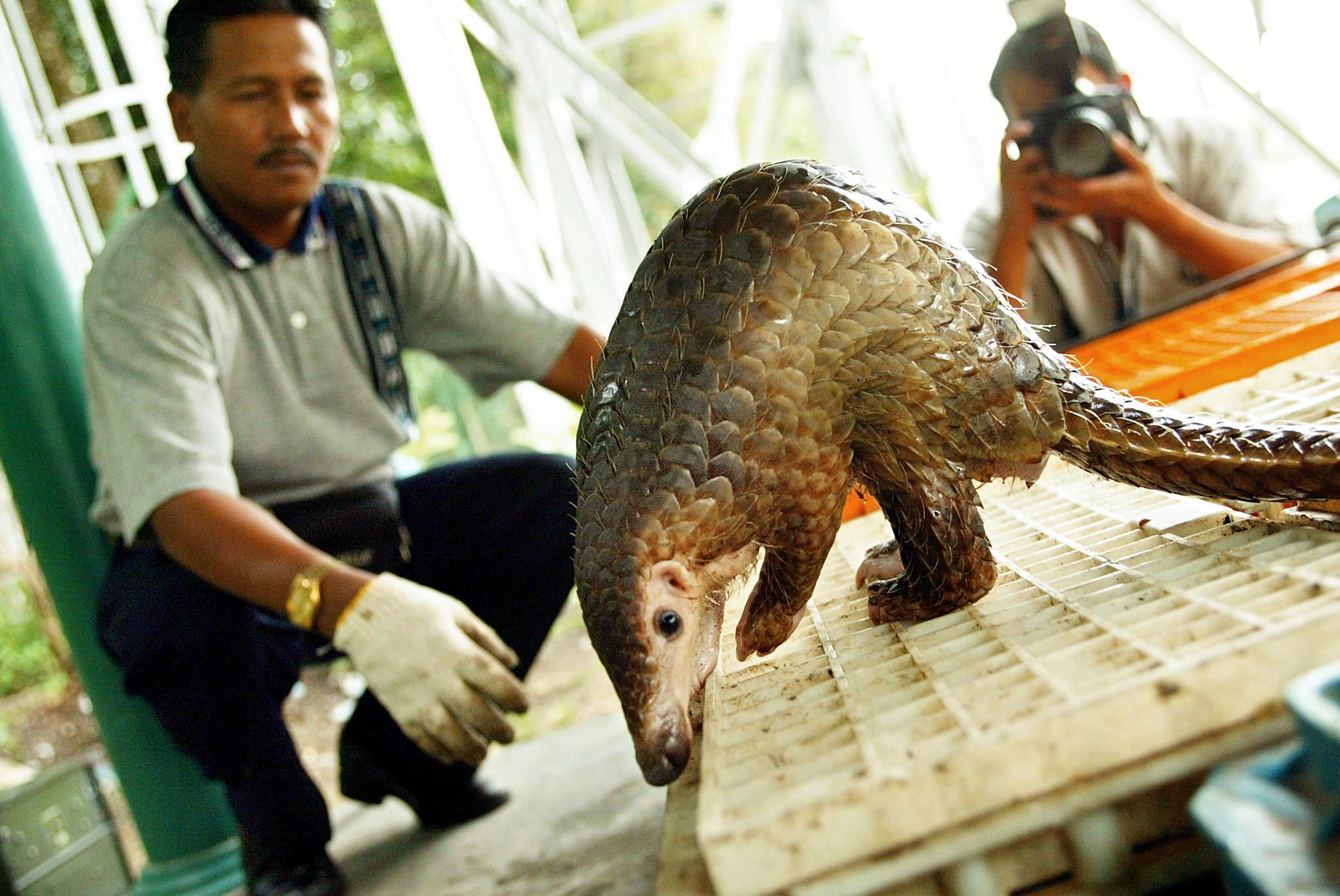 Un pangolin malaisien photographié à Kuala Lumpur en 2002. Pour se protéger, cet animal se met en boule. Il chasse les insectes à l'aide de sa langue, très longue.