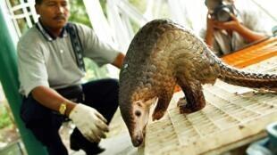 En voie de disparition, le pangolin est une espèce protégée en Chine.