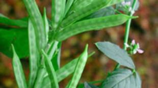 Le guar est devenu l'une des plantes les plus convoitées par l'industrie.