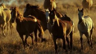 En Australie, il y aurait environ 400 000 chevaux sauvages.