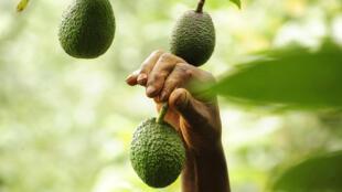 Avocado farming in Kandara, Murang'a county, Kenya.