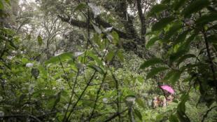 Forêt d'Oku, au Cameroun