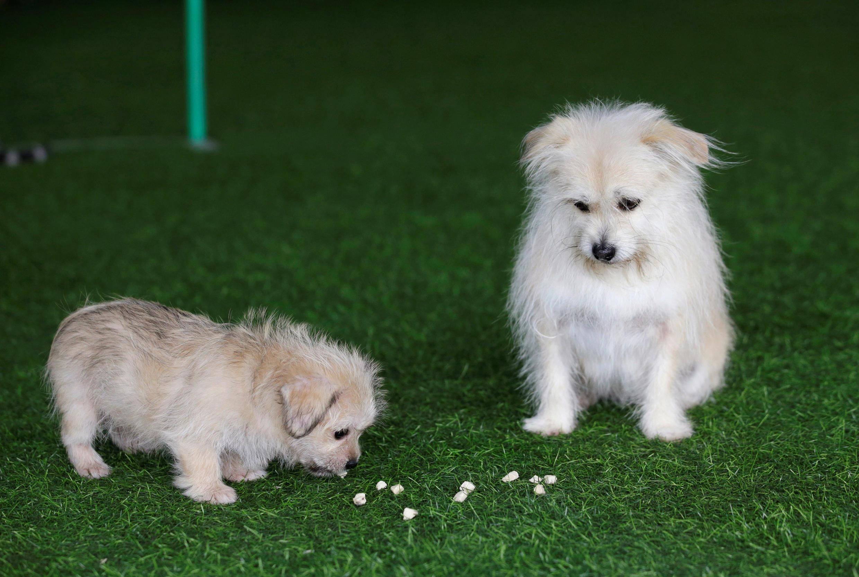 Cachorro de nove anos olha seu clone de dois meses, em Pequim, China, 26 de novembro de 2018.