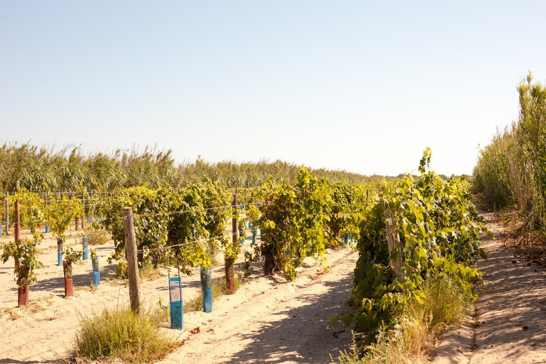 Domaine de Vassal, хранилище сортов винограда французского сельскохозяйственного института INRA