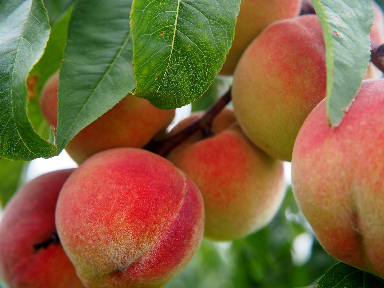 Pêches - peach-2632182