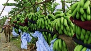 La banane Chiquita devrait s'allier au groupe brésilien Cutrale-Safra.
