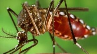 Comissão libera uso de mosquito transgênico para combate a dengue.