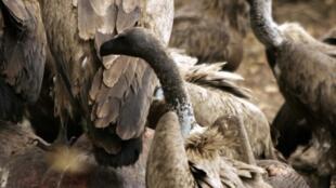 Le vautour à dos blanc figure sur la liste des oiseaux en danger critique d'extinction dressée par l'Union internationale pour la conservation de la nature