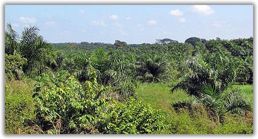 Plantación de palma africana.