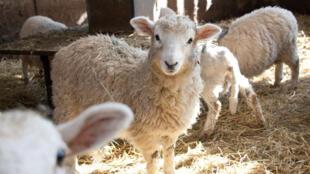 La Chine se couvre de laine australienne