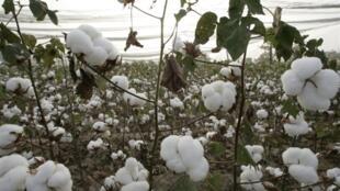 La production cotonnière a presque doublé en trois ans, en partie grâce à l'augmentation du prix au producteur.