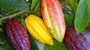 Plantação de cacau na Bahia pelo sistema cabruca.