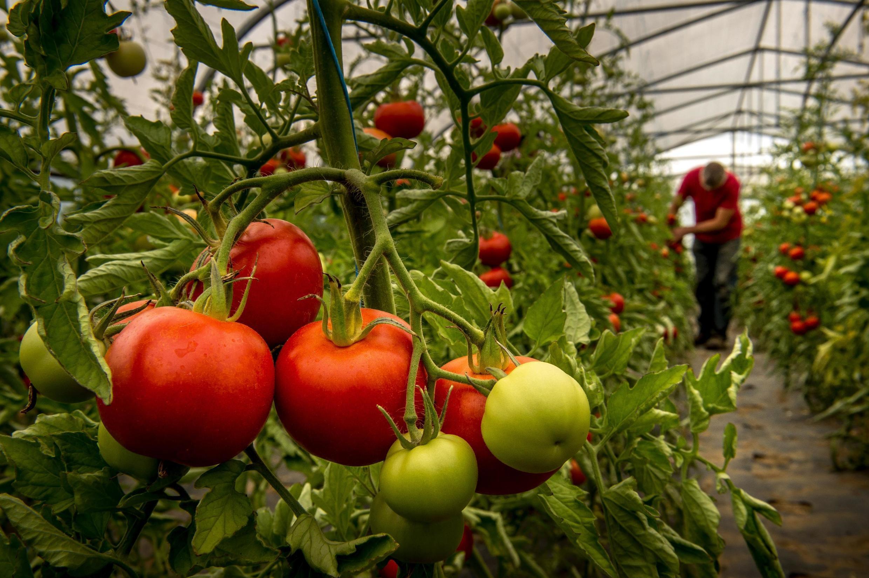 冬日大棚加熱生產有機西紅柿不再符合規定