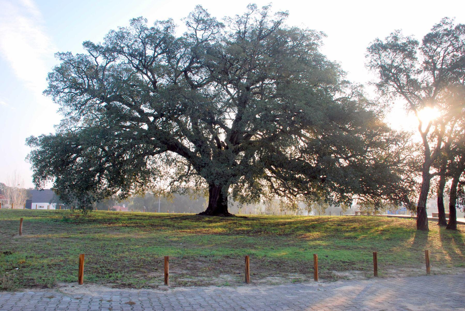 Le chêne siffleur de Setubla, désormais symbole national