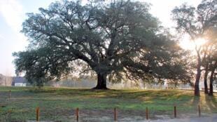 法国著名树种橡树一品种图