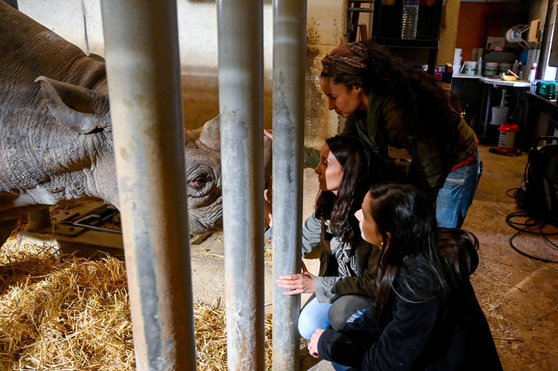 Rewild, um projeto da Bretanha para devolver animais selvagens de zoológico. Na foto, um rinoceronte negro de 28 anos no Zoológico de Pont-Scorff, no oeste da França, em 27 de dezembro de 2019.