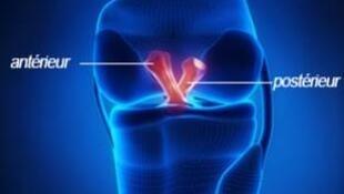 En rouge, les ligaments croisés du genou.