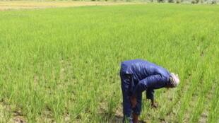 Une rizière à Baguineda, au Mali (image d'illustration).