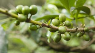 Les fruits d'un caféier de Tanzanie.
