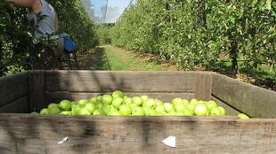 Golden Delicious are harvested at La Morinière fruit testing centre in Saint-Epain, Indre et Loire. More than 30% are exported to the UK