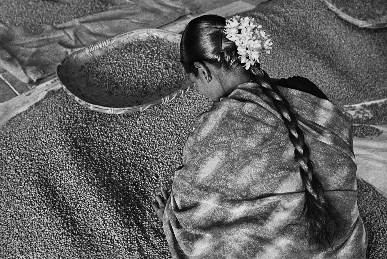 Perfume de um sonho. Seleção de café de alta qualidade para exportação. Plantação de café Allana, Estado de Karnataka, Índia, 2003.