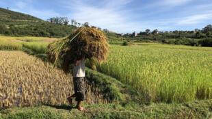Récolte du riz à Ambatokely, commune rurale à une heure de la capitale, Antananarivo (illustration).