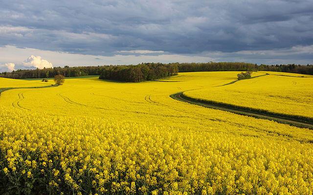 Un champ de colza en Côte d'or, dans l'Est de la France