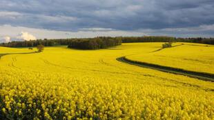 La Chine a confirmé ce jeudi avoir suspendu l'autorisation du premier exportateur canadien de canola.