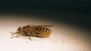 La maladie du sommeil est transmise par les mouches tsé-tsé,