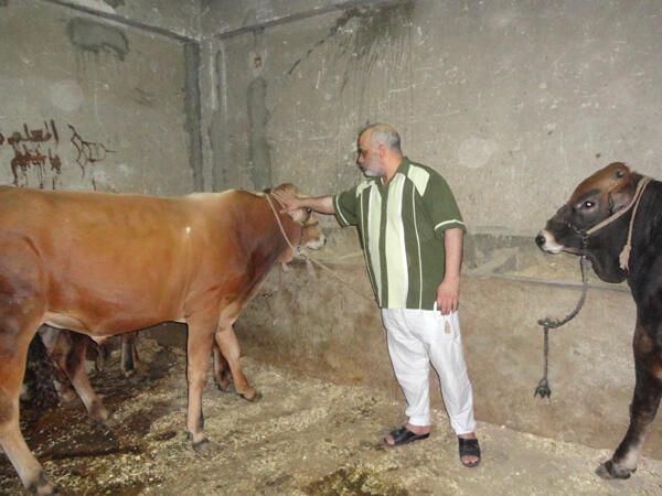 Saïb Abdel Latif, père d'un jeune homme tué fin janvier 2011 devant un poste de police, élève 14 vaches entre le rez-de-chaussée et le 5e étage de sa maison à Imbaba.