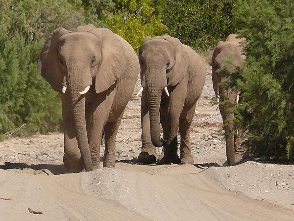 Giwaye na yawo a dajin kasar Namibia