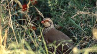 80% de las perdices rojas han desaparecido en Francia.