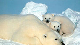 Gấu trắng Bắc Cực xếp vào loại động vật hoang dã cần bảo tồn.